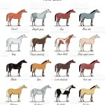 Set Of Horse Color Chart Breeds Equine Coat Colors With Text Equestrian Scheme Stock Illustration Download Image Now Istock
