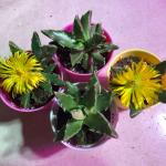 Tiger Jaws Succulent Gardening Plants On Carousell