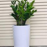 Hardy Zz Plant In Elegant Tall White Ceramic Pot Gardening Plants On Carousell