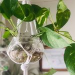 Money Plant Hanging Money Plant Gardening Plants On Carousell
