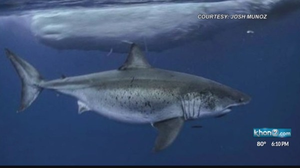 Great White shark spotted off the south shore feeding on ...