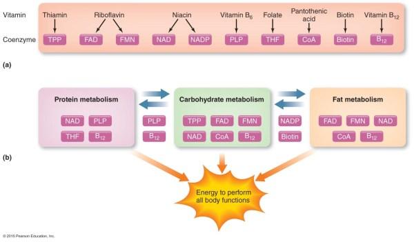 Lecture 8A: Vitamins & Minerals Part 2