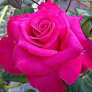 'Pretty Lady Rose'