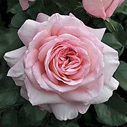 Savannah™ Sunbelt ® Rose