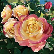 Bella'roma Hybrid Tea Rose