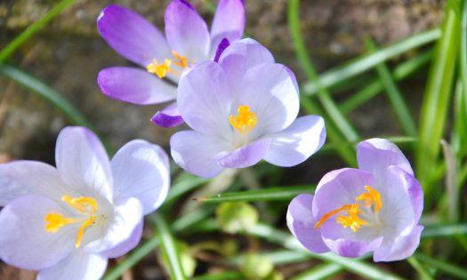 lila krokus