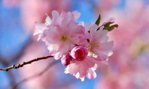 kvist med rosa körsbärsblommor