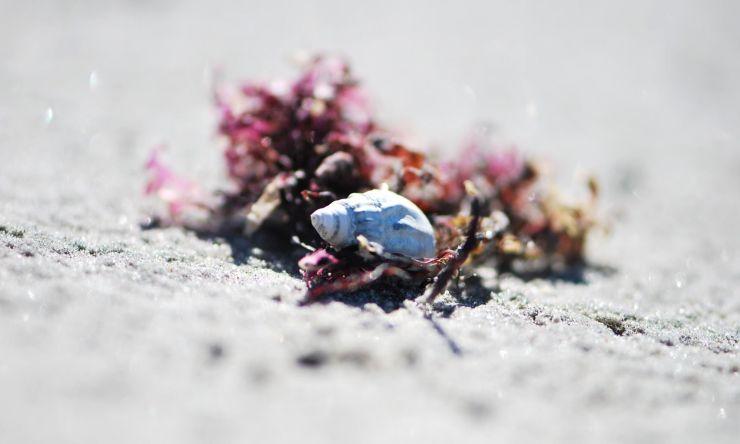 snäcka och rosa tång i sanden