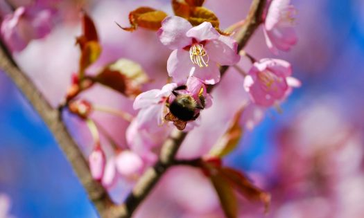 blomning japanskt körsbärsträd