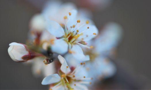 vit slånbärsblomma