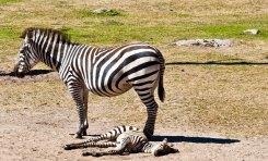 Zebra, Borås djurpark