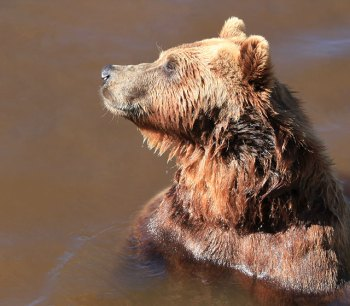 Pappa björn i Borås Djurpark