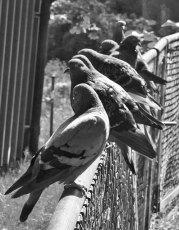 Duvor i Slottsskogen