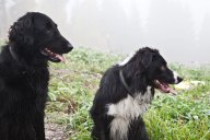 Syrrans fina hundar