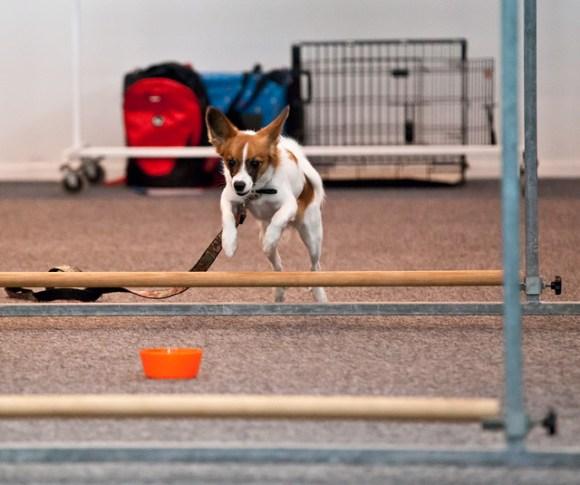 Agility Hundens hus hinderhoppning IMG_1279