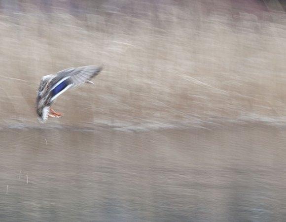 flygande anka