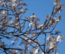 blommande träd IMG_5716