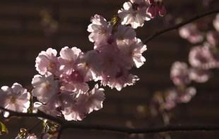 körsbärsblomma IMG_5718