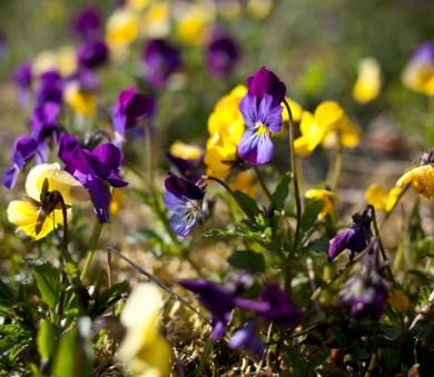 blomma IMG_7669