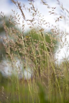 gräs på masthuggsberget IMG_8436