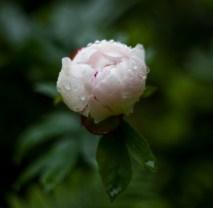blomma IMG_9022