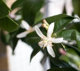 citronträd-balkongIMG_6641