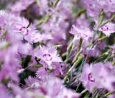 botaniska-blomma-rosaIMG_7110