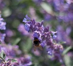 botaniska-humla-lila-blommaIMG_7154