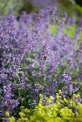 botaniska-lila-blommaIMG_7155