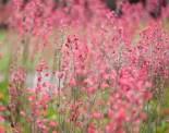 botaniska-rosa-blommaIMG_7163
