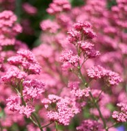 botaniska-rosa-blommaIMG_7169