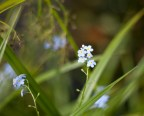 slottsskogen-forgetmigäj-blommorIMG_7097