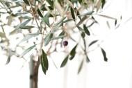 olivträd