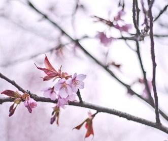 körsbärsblom-rosa