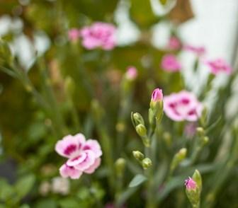 rosa-blomma
