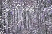 lila-björk