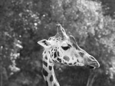 giraff-bw-zoo