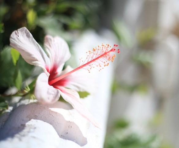vit-blomma-portugal
