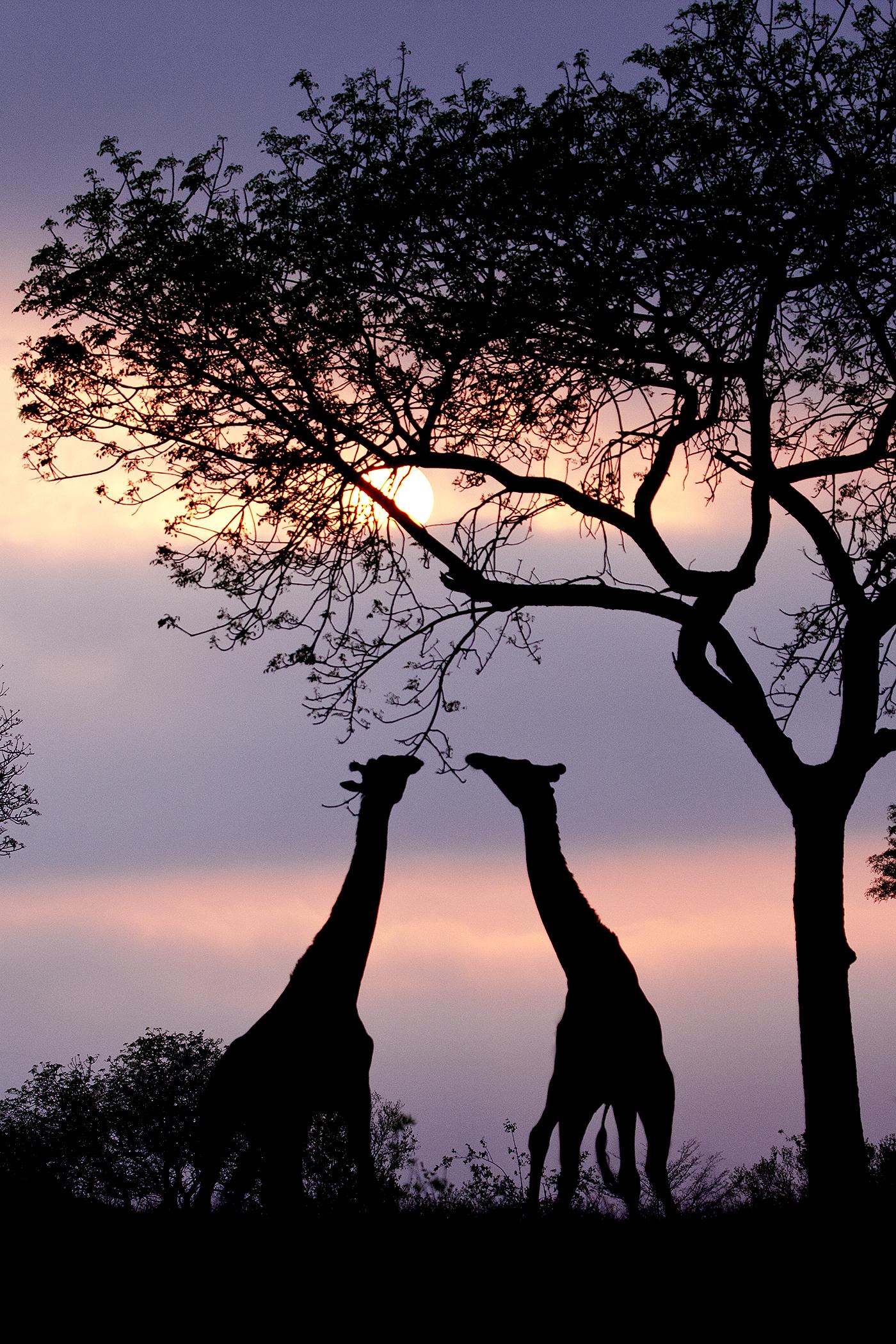 Giraffe Height Male In Feet