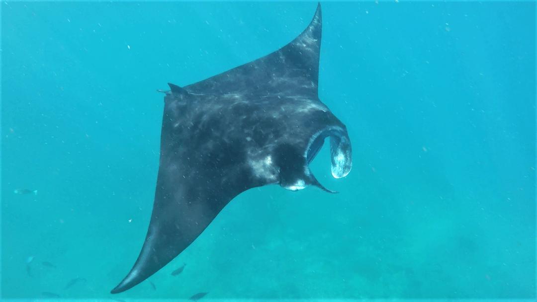 Snorkling med Manta Rays vid Nusa Lembongan!
