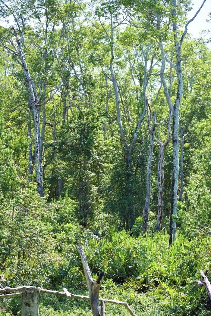 träd i labuk sanctuary
