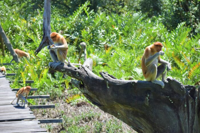 näsapor i Labuk Bay Proboscis Monkey Sanctuary