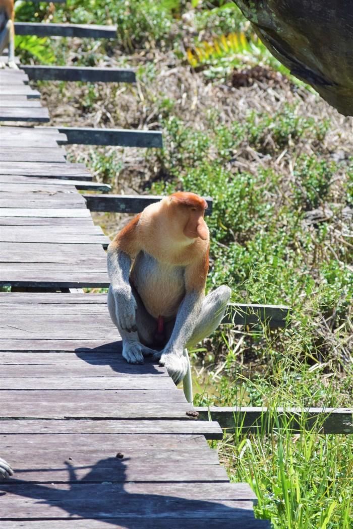 näsapa på Labuk Bay Proboscis Monkey Sanctuary