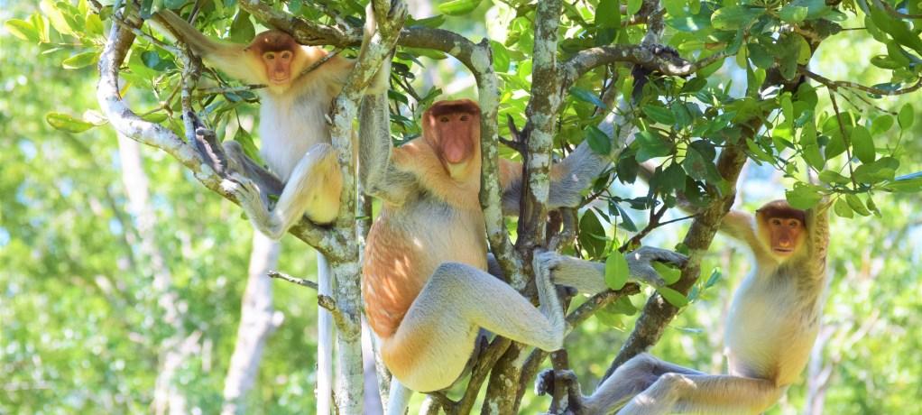 Stora näsor i Proboscis Monkey sanctuary!