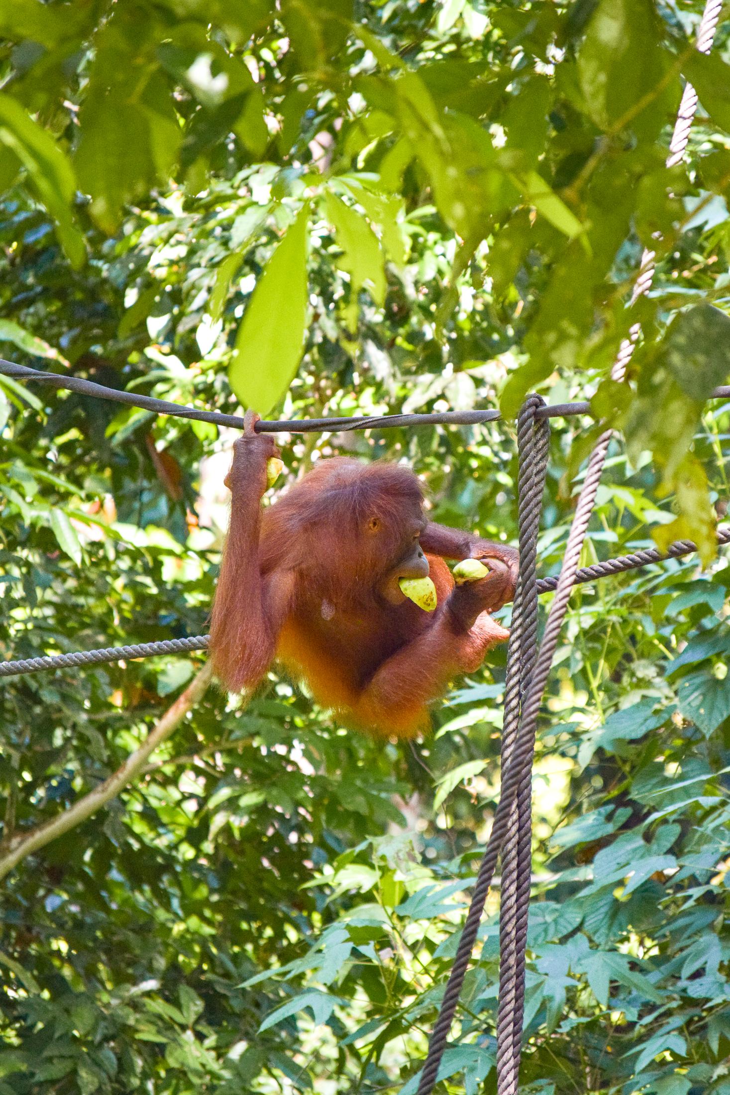 En vild orangutang klättrar på ett rep med frukter i händerna.