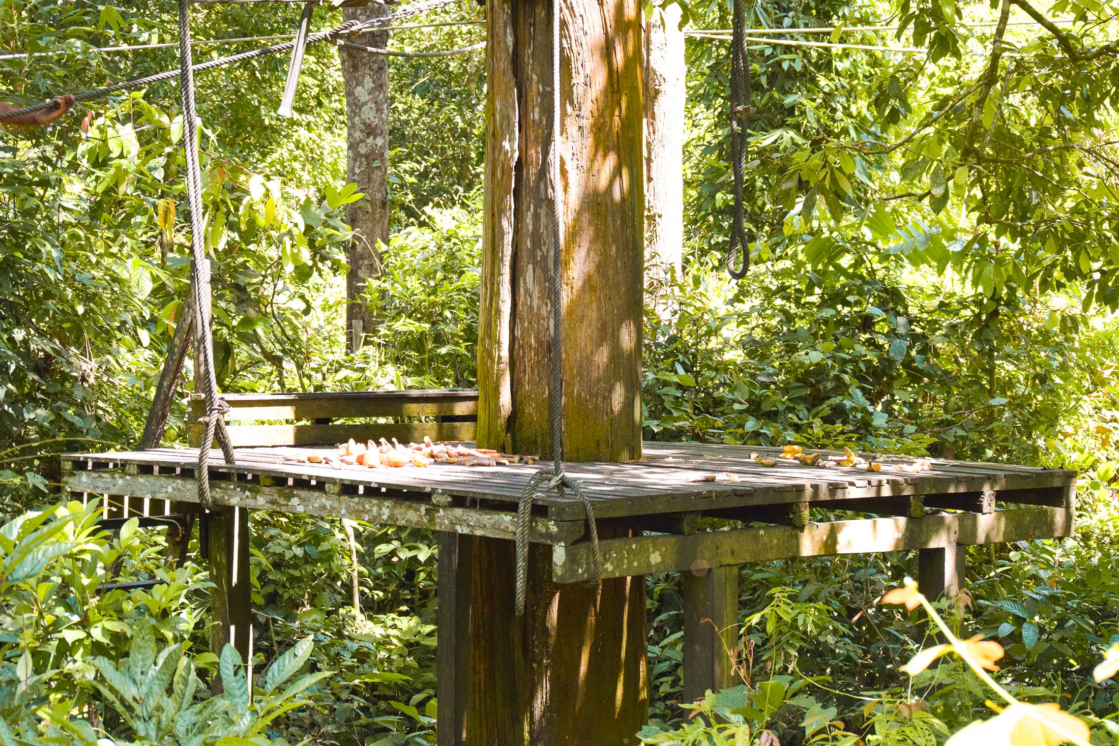 plattform runt ett träd för mat till orangutangerna.
