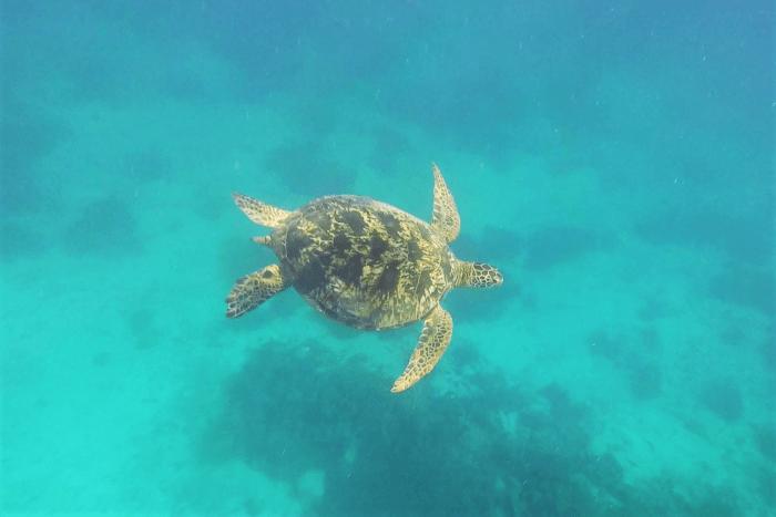 sköldpadda utanför balicasag