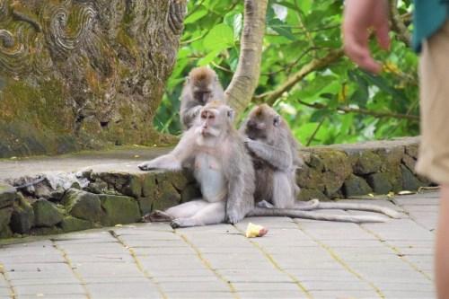 apor plockar löss i monkey forest