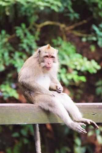 sittande apa i monkey forest