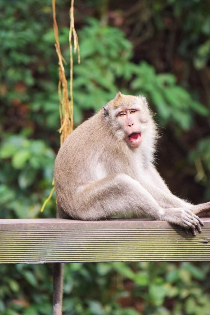 sittande apa i ubud monkey forest
